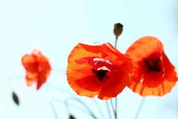 Poppy isolated on white background №37130