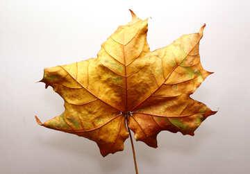 Herbst-Blatt №37251