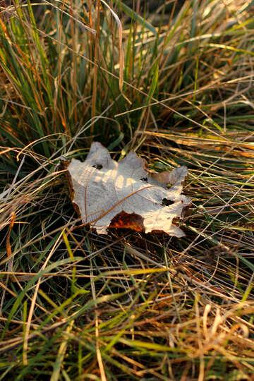 Autumn leaf in the grass №37226