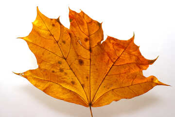 Dry maple leaf №37254