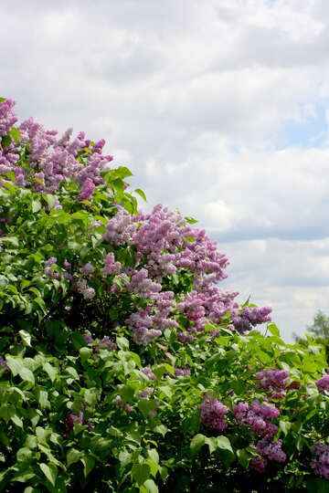 Blooming lilac №37444