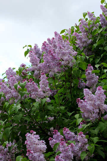 Blooming lilac №37597