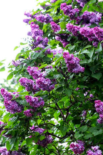 Bright blossoming lilac bushes №37455
