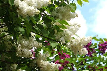 Lilac bushes №37570