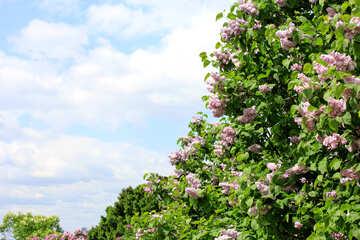 I cespugli sono fioritura lilla №37612