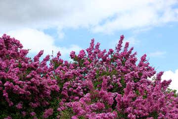 Garden lilac №37561