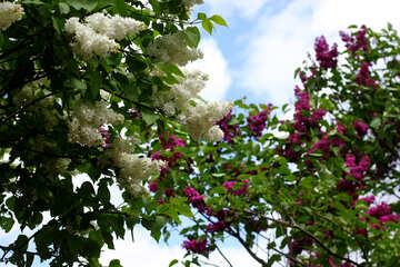 Lilac garden №37569