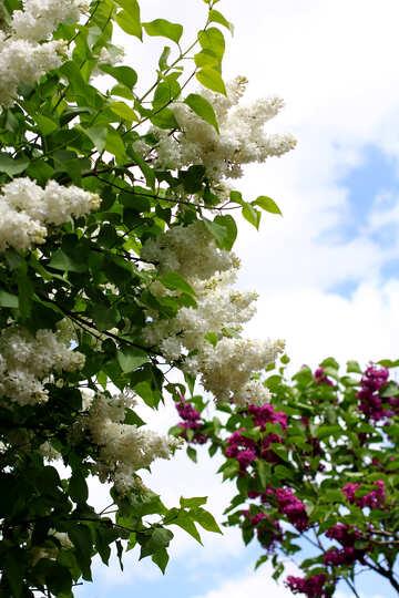 Lilac skyline №37571