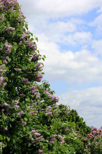 Lilac skyline №37611