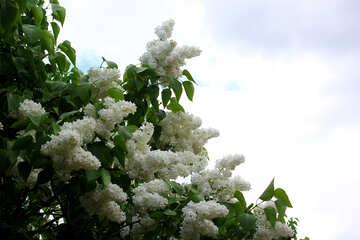 Lilac white №37394