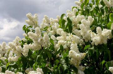 Lilac white №37422