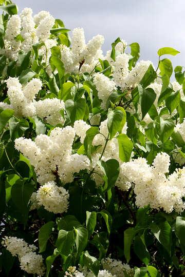 White lilac №37423