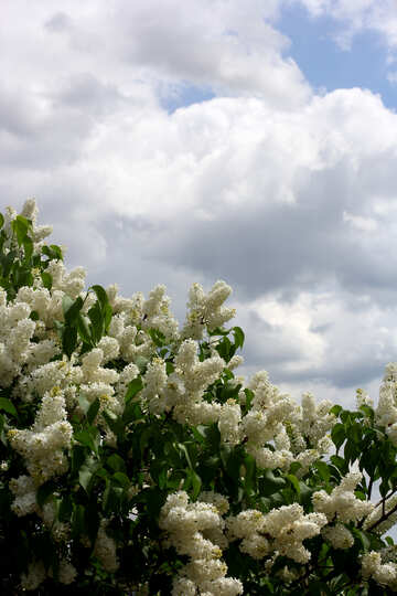 White lilac bushes №37420