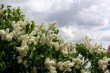 Cespugli di lillà bianco №37421