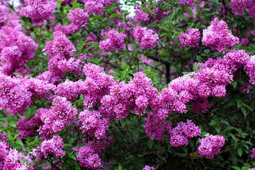 Blooming lilac №37555