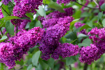 Lilac blooms №37377