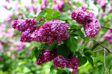 Lilac blossoms in spring №37582