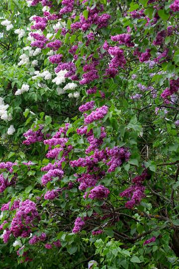 Coloured lilac №37509