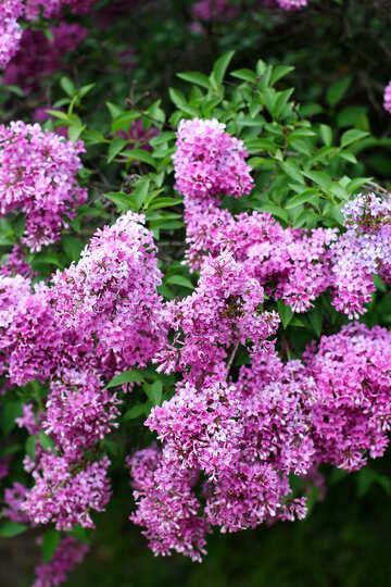 Lilac flowering Bush