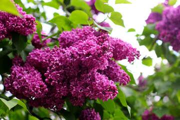Lilac flowering Bush №37605