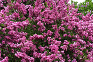 A lot of blossoming lilac №37559