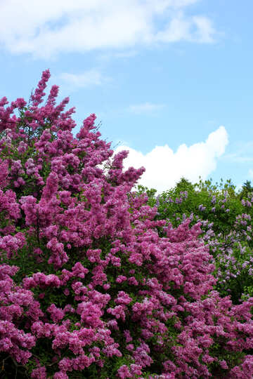 Spring lilac blooms №37557