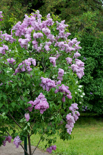 A young Bush blooming lilac №37505