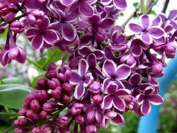 Lilac №37302