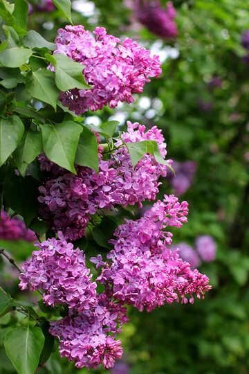 Lila Blumenstrauß №37588