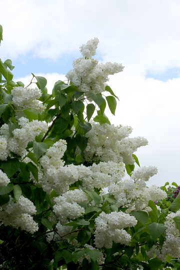 Beautiful white lilac №37393