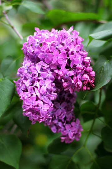 Lilac flower №37459