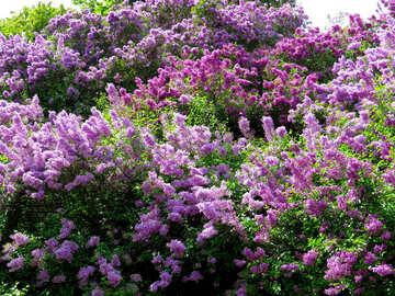 Many lilacs №37339