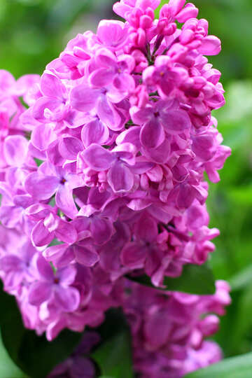 Terry lilac №37614