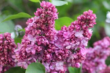 Lilac №37620