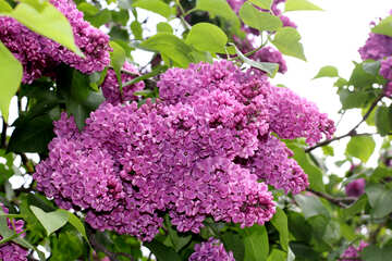 Beautiful lilac №37607