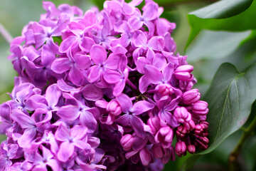 The flowers are lilac №37461