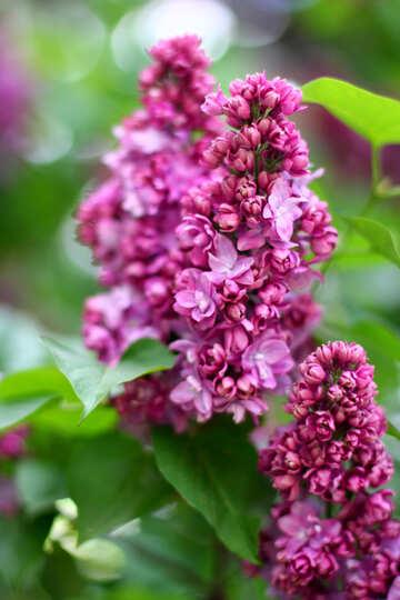Fluffy lilac №37616