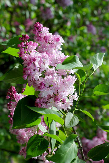 Lilacs in may №37430