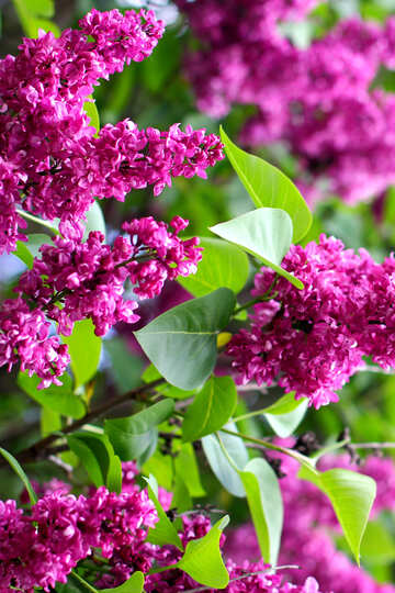 Lilacs in the spring №37388