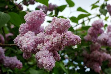 Many blossoms №37596
