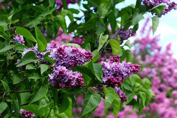 Lilac Park №37565