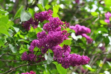 Purple lilac №37589