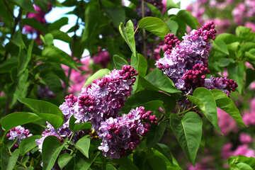 Soft pretty lilac №37567