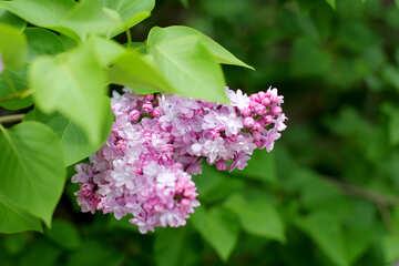 Sprig of lilac №37384