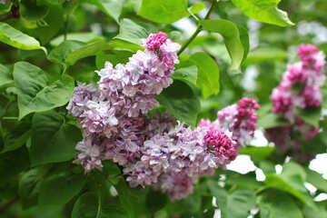 Sprig of lilac №37481