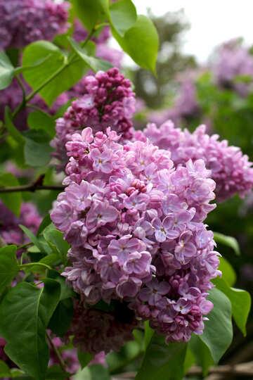 Sprig of lilac №37602