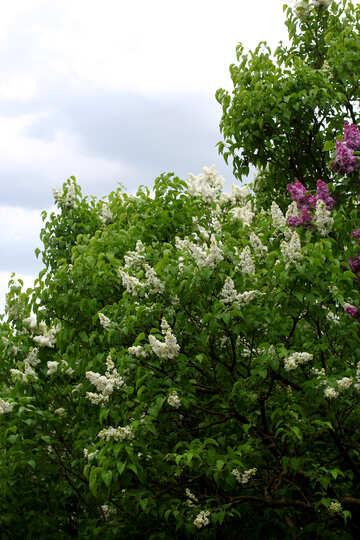 White lilac bushes №37506
