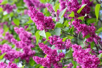 Lilac №37387
