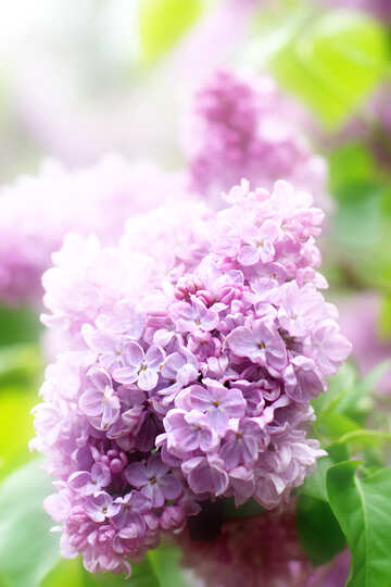 Beautiful picture of lilac №37603