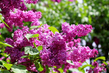 Bright picture with lilac flowers №37487